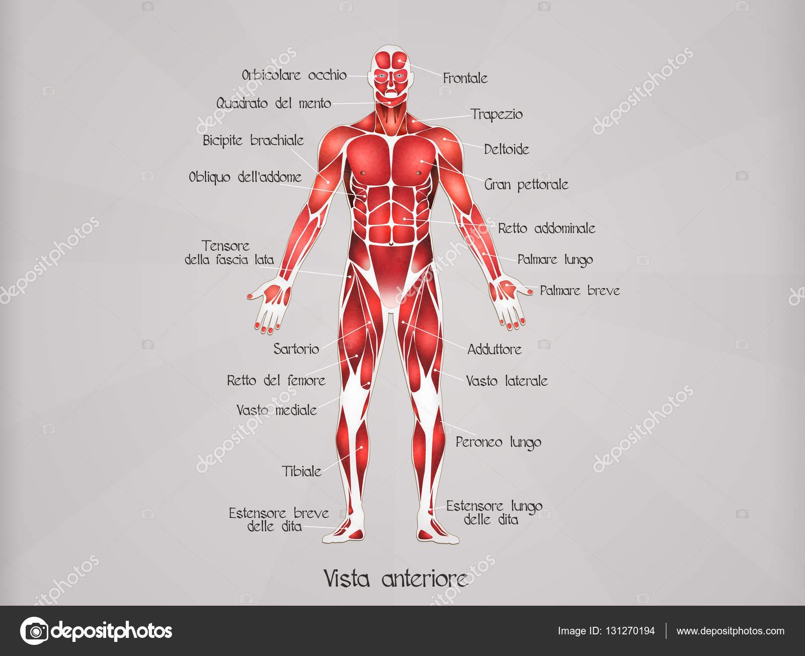 el sistema muscular — Foto de stock © adrenalina #131270194