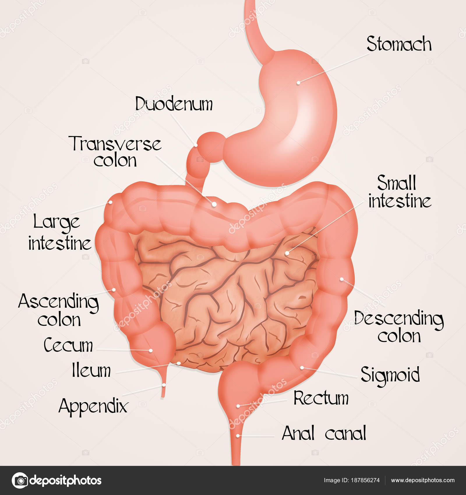 Nice Intestine Diagram Human Collection Human Anatomy Images