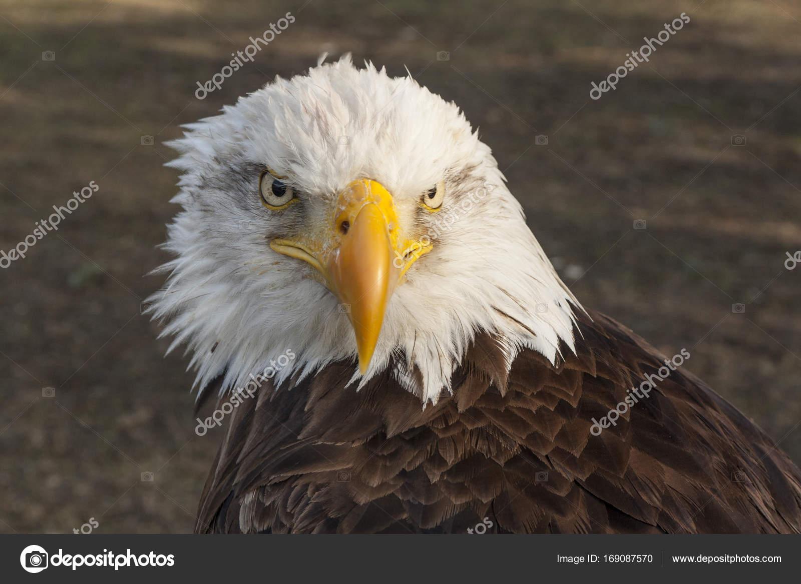 Bald Eagle Usa And Canada Stock Photo Pluto51 169087570