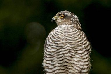 Hawk, bird of prey