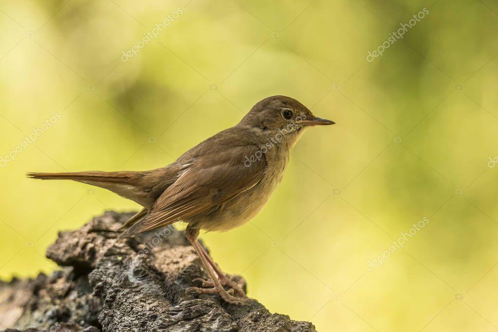 Nightingale,  Luscinia megarhynchos