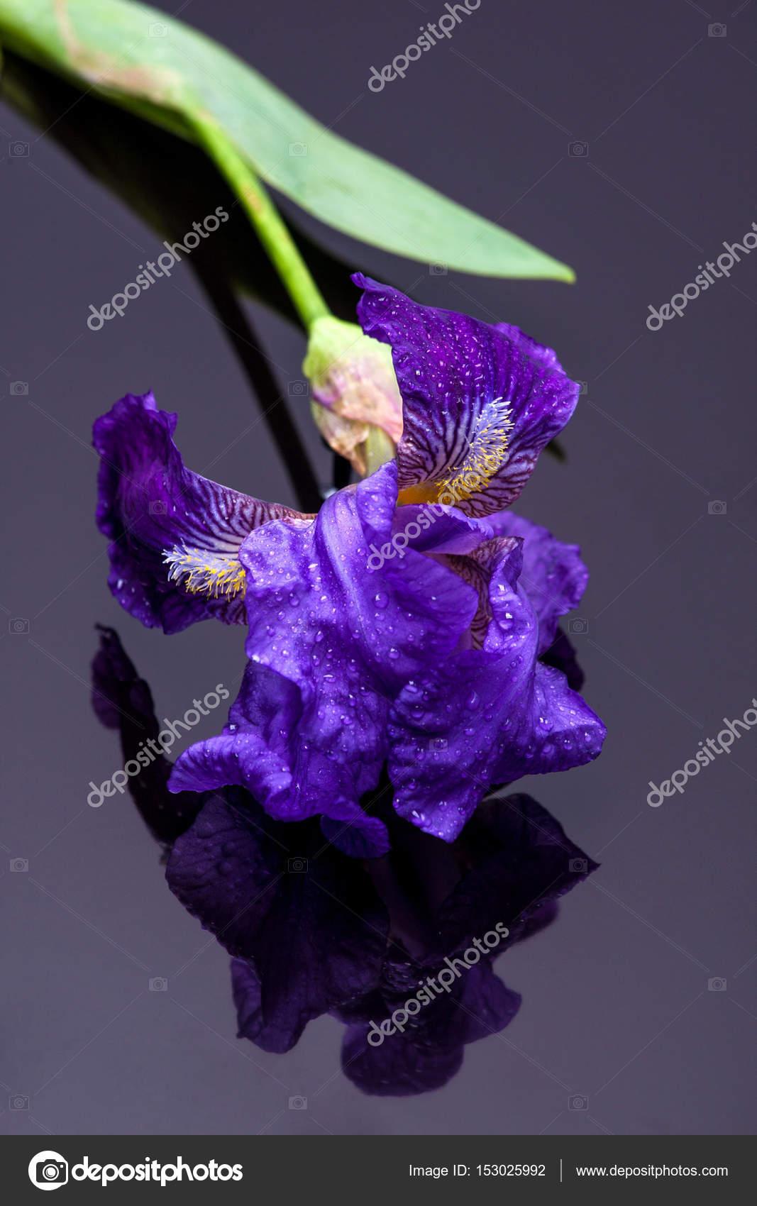 Iris on black stock photo igorartmd 153025992 fresh iris flowers on black background springtime flowers photo by igorartmd izmirmasajfo