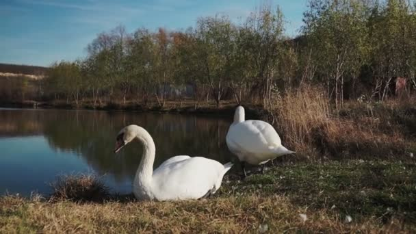 Two swans on the lake. White swans on green lawn against pond