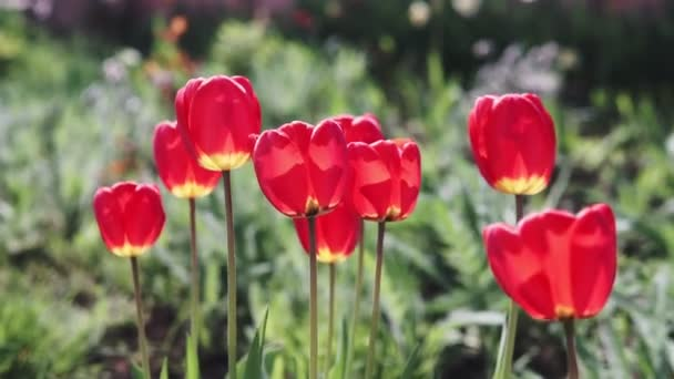 Footage of beautiful colorful red tulip flowers bloom in spring garden.