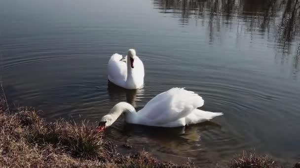 egy pár, a hattyúk, a kék tó víz