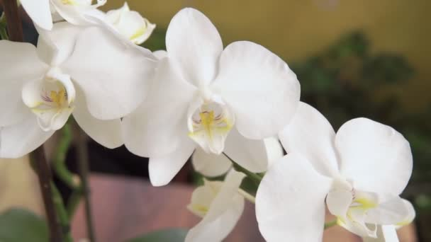 Schöner Stößel der Orchidee. Hausflora, blühende Orchideen aus nächster Nähe. Schöne Pflanze zu Hause. Hausblumen und Blumenpflege in extremer Nahsicht.