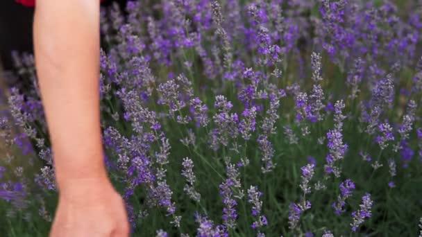 Detailní záběr ženských rukou jemně se dotýkajících kvetoucích levandulových květů za slunečného letního dne. Ženská ruka jemně přejíždí po vrcholcích levandulových keřů kvetoucích na venkově během prázdnin.