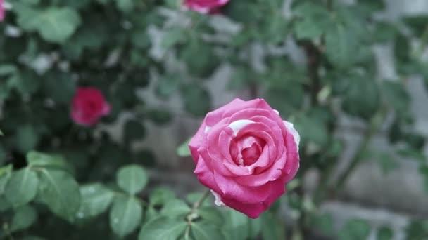 Krásné růžové růže květ v růžové zahradě