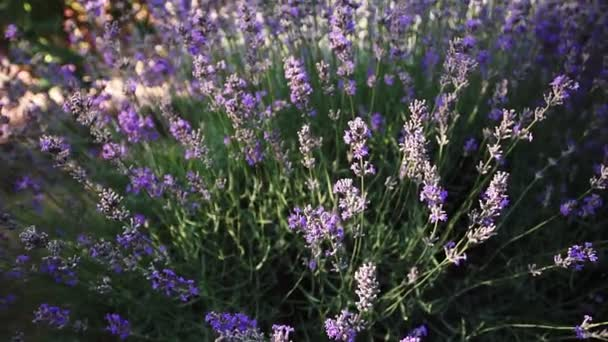 Křoví kvetoucí levandule na poli. Detailní záběr.