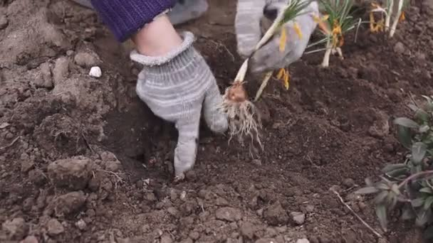 Woman planting flowers in garden. Female gardener transplanting flowering plants in soil on flower bed. Landscaping in spring park