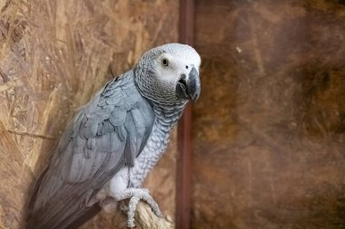 Gray parrot in a cage close up
