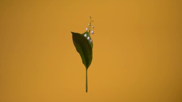 Lily z Valley Flower. Zásobní video izolované lilie z údolí, která se otáčí kolem svislé osy. Květina se vznáší ve vzduchu.