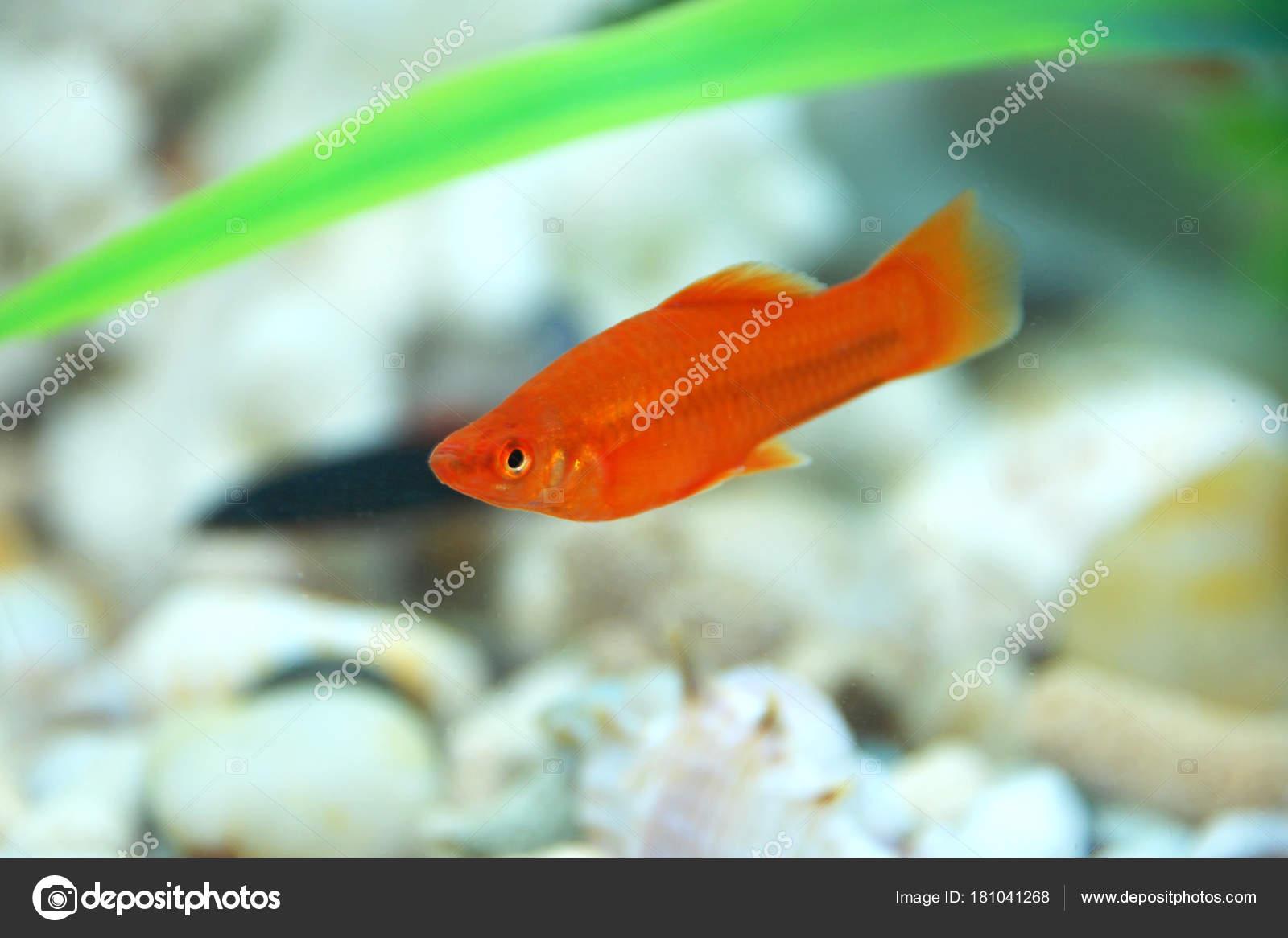 Peces rojos en el acuario. Par red de Xipho Xiphophorus Helleri hombres  mujeres acuario peces
