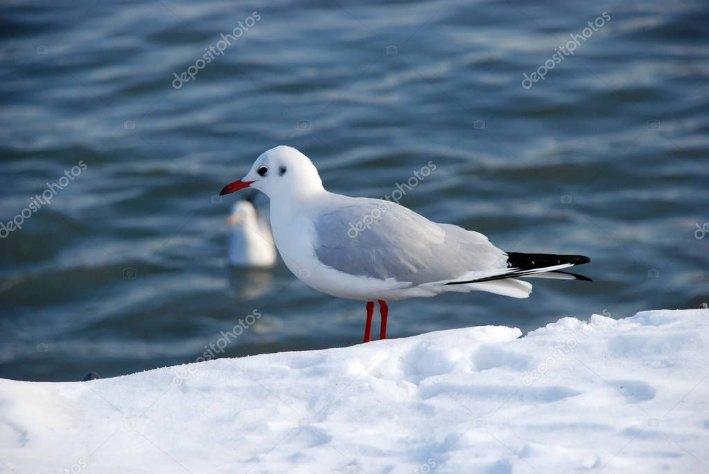 Snow on the gull of the seaside . Lonely gull on snow in winter . Seagull on snow with Caspian Sea . Seagulls on the frozen pier at the Caspian Sea