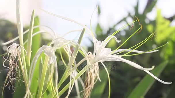 Close up White Spider Lily Flower (Crinum asiaticum L.)