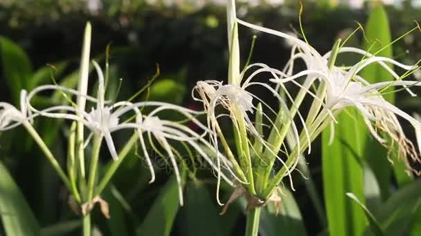Detailní záběr White Spider Lily Květina (Crinum asiaticum L.)