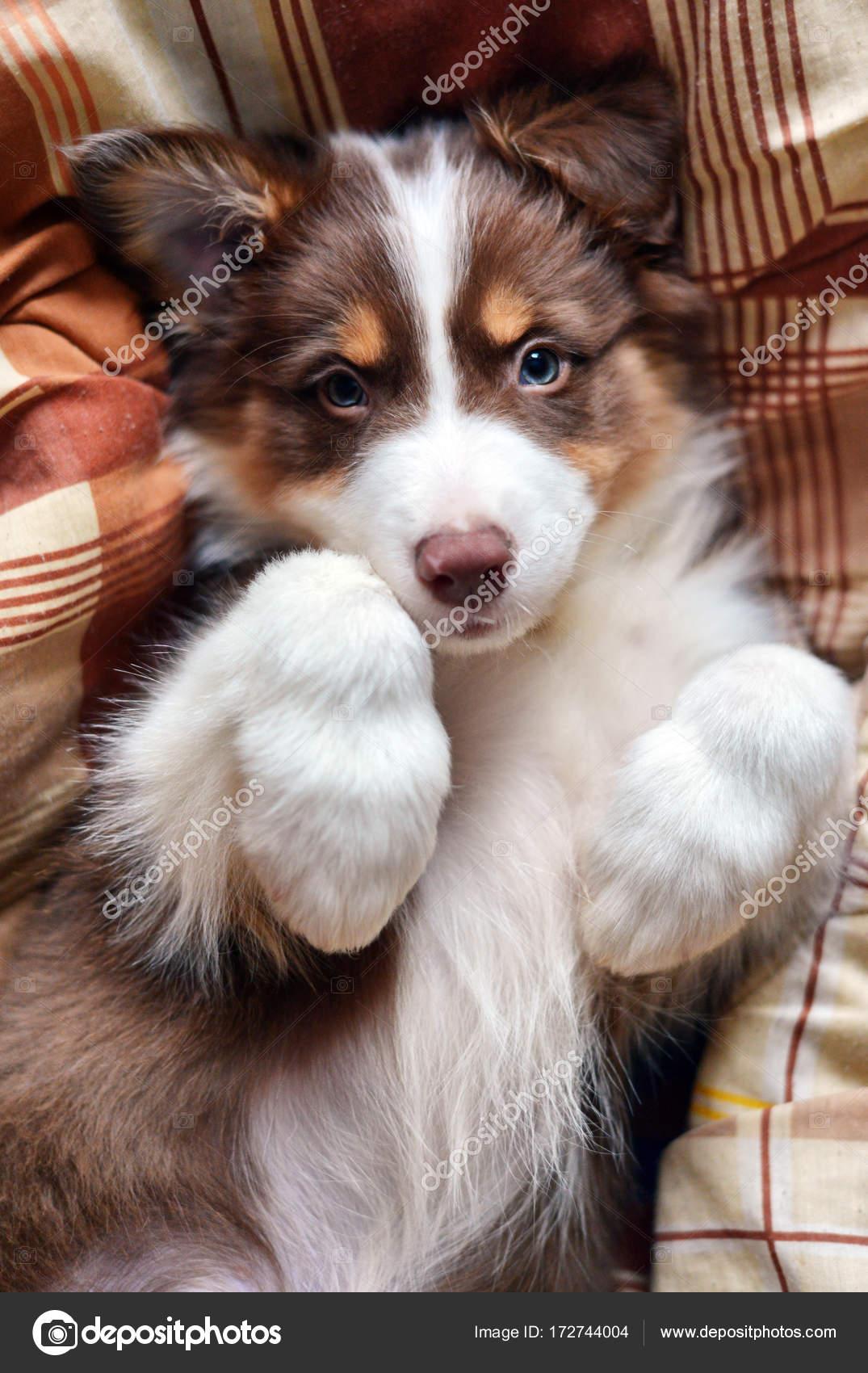 cute fluffy puppy lies stock photo murmurfoto 172744004