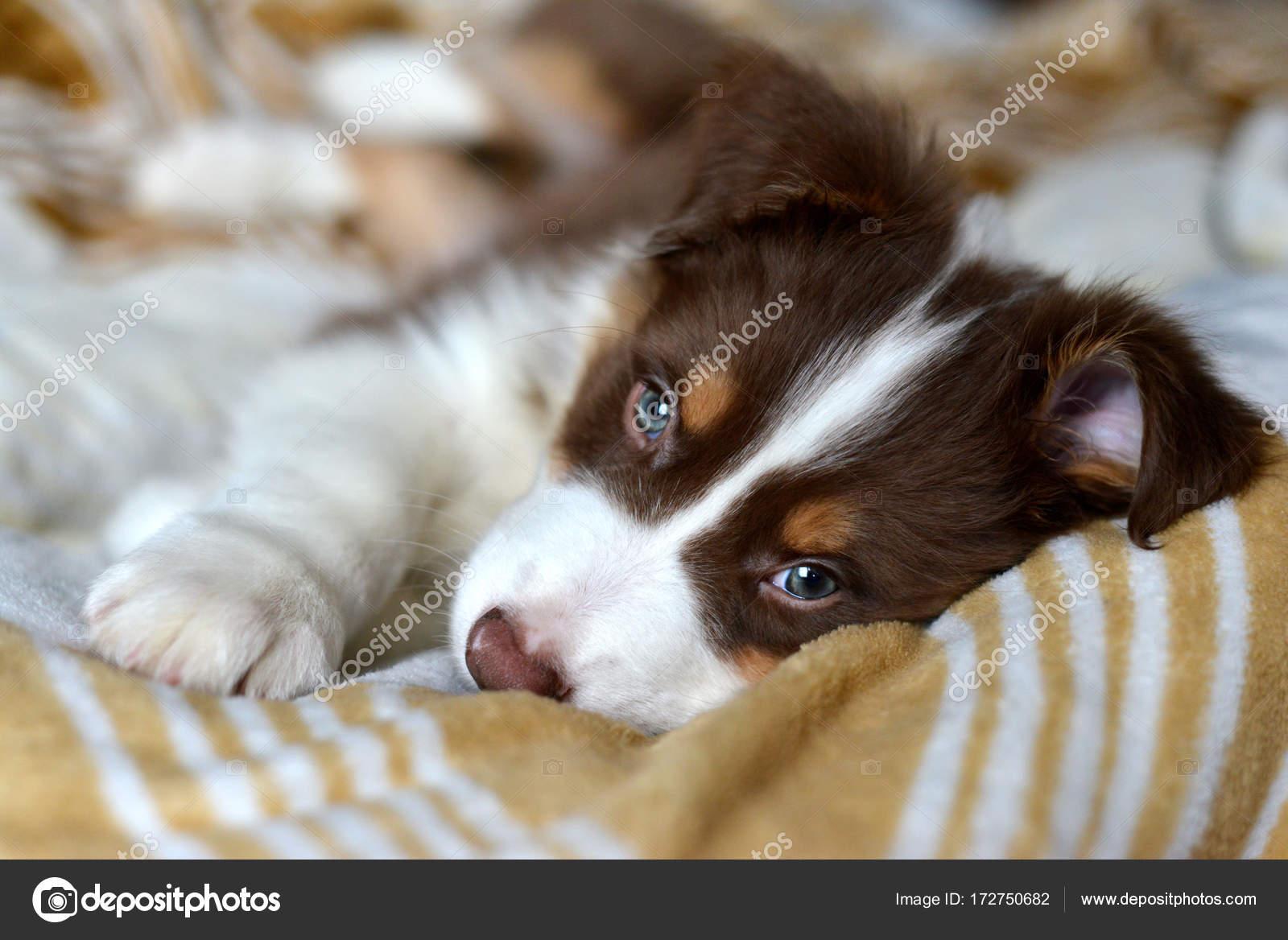 cute fluffy puppy lies stock photo murmurfoto 172750682