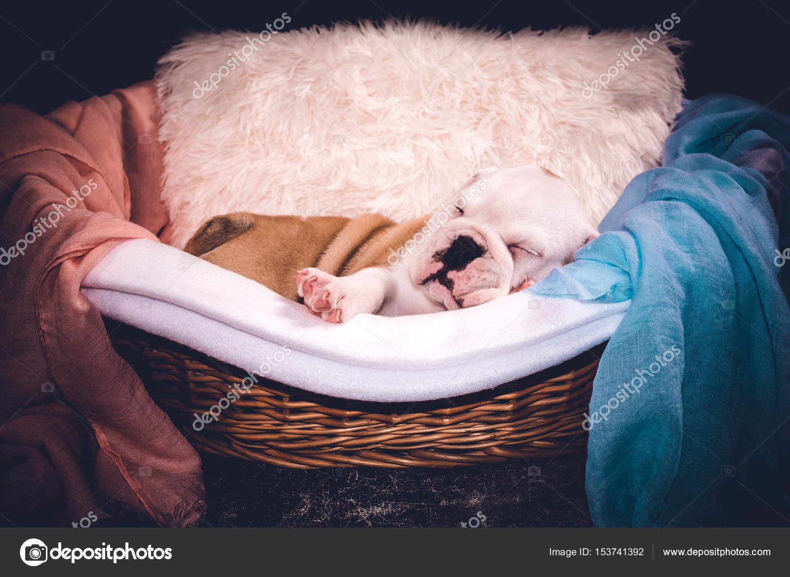 Cute English Bulldog Puppy Sleeping Stock Photo C Uroszunic 153741392