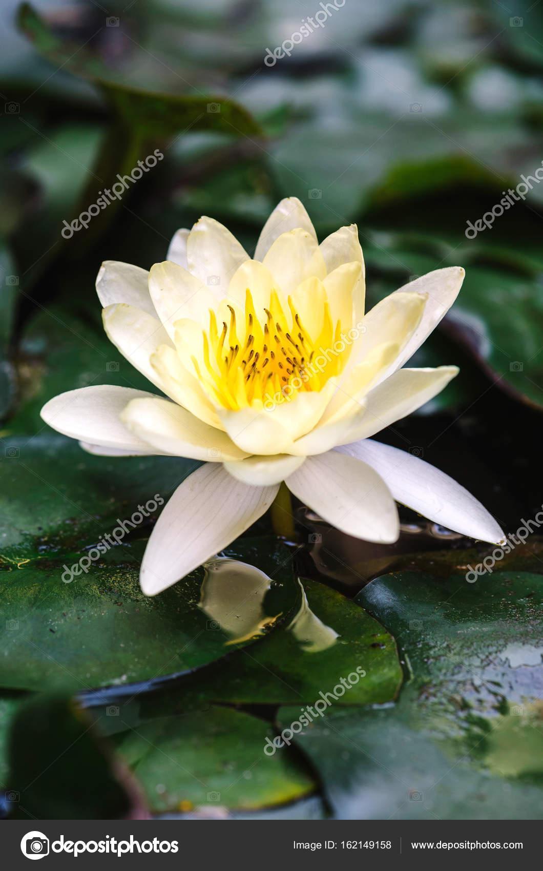 Beyaz lotus iei at stok foto uroszunic 162149158 beyaz lotus iei at stok fotoraf mightylinksfo