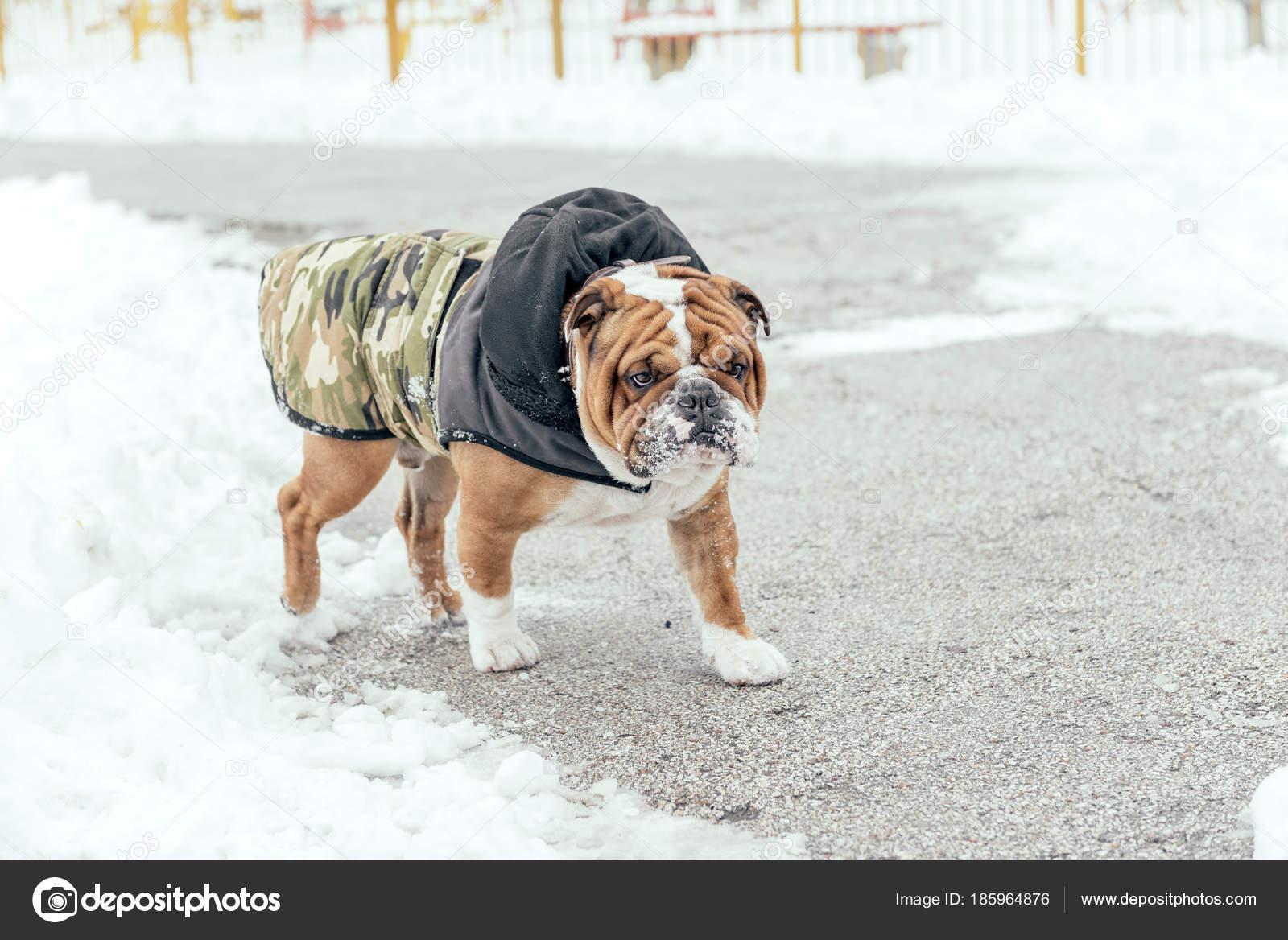 Anglický Buldok Procházky Parku Během Chladného Počasí — Stock fotografie d65ec59047