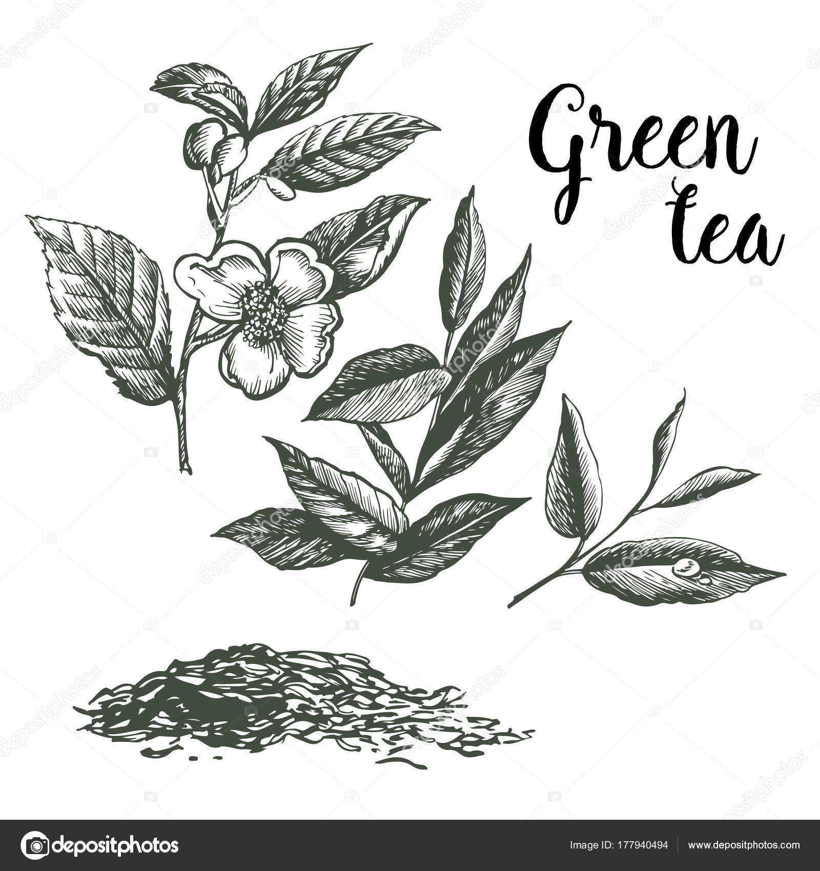 Graphic Pattern Green Tea Hand Drawing Stock Vector