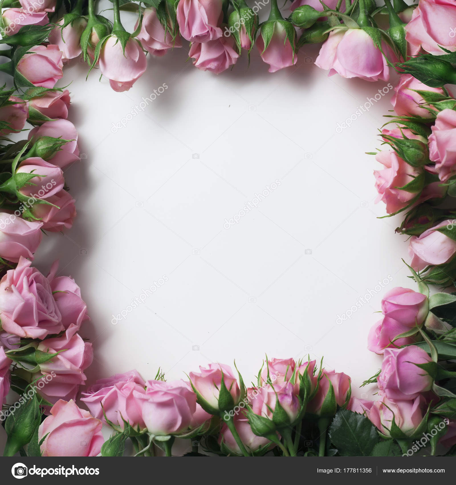Beautiful Pink Rose Flowers Form Frame Isolated White Background ...