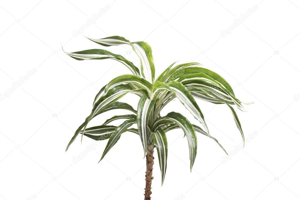 Palmeras plantas de interior aislado foto de stock for Plantas de interior tipo palmera