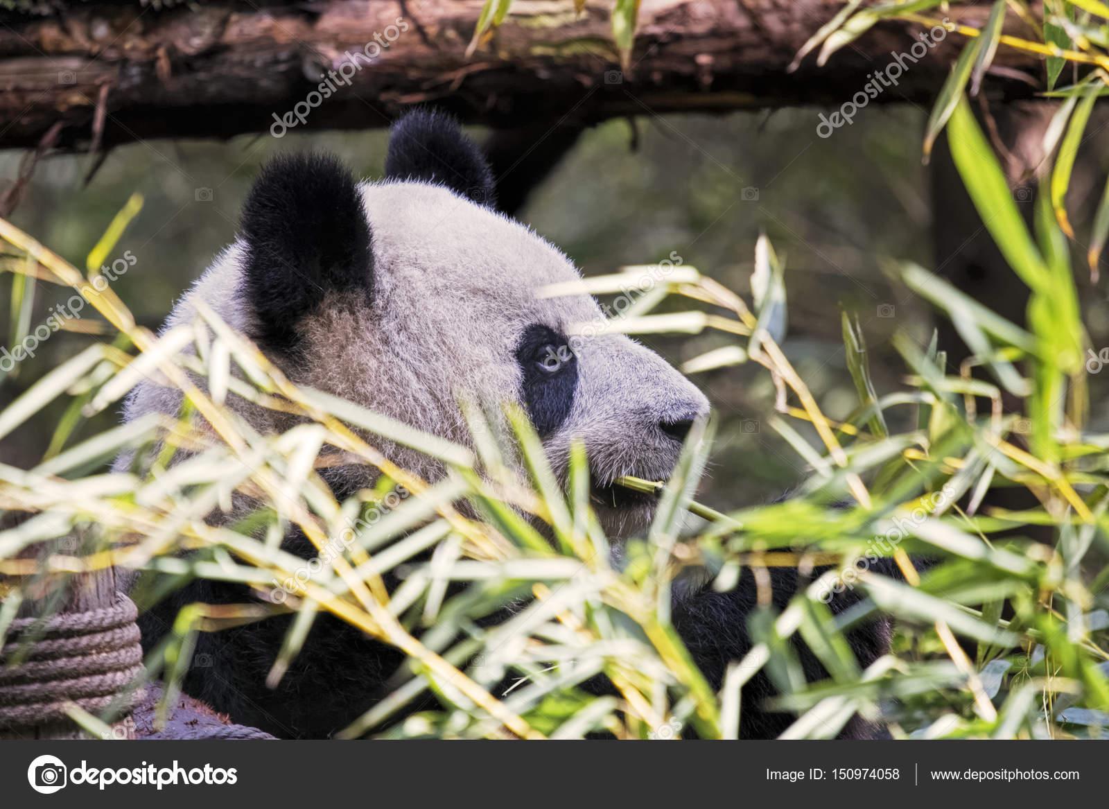 Erwachsenen Giant Panda Bambus Chengdu China Essen Stockfoto