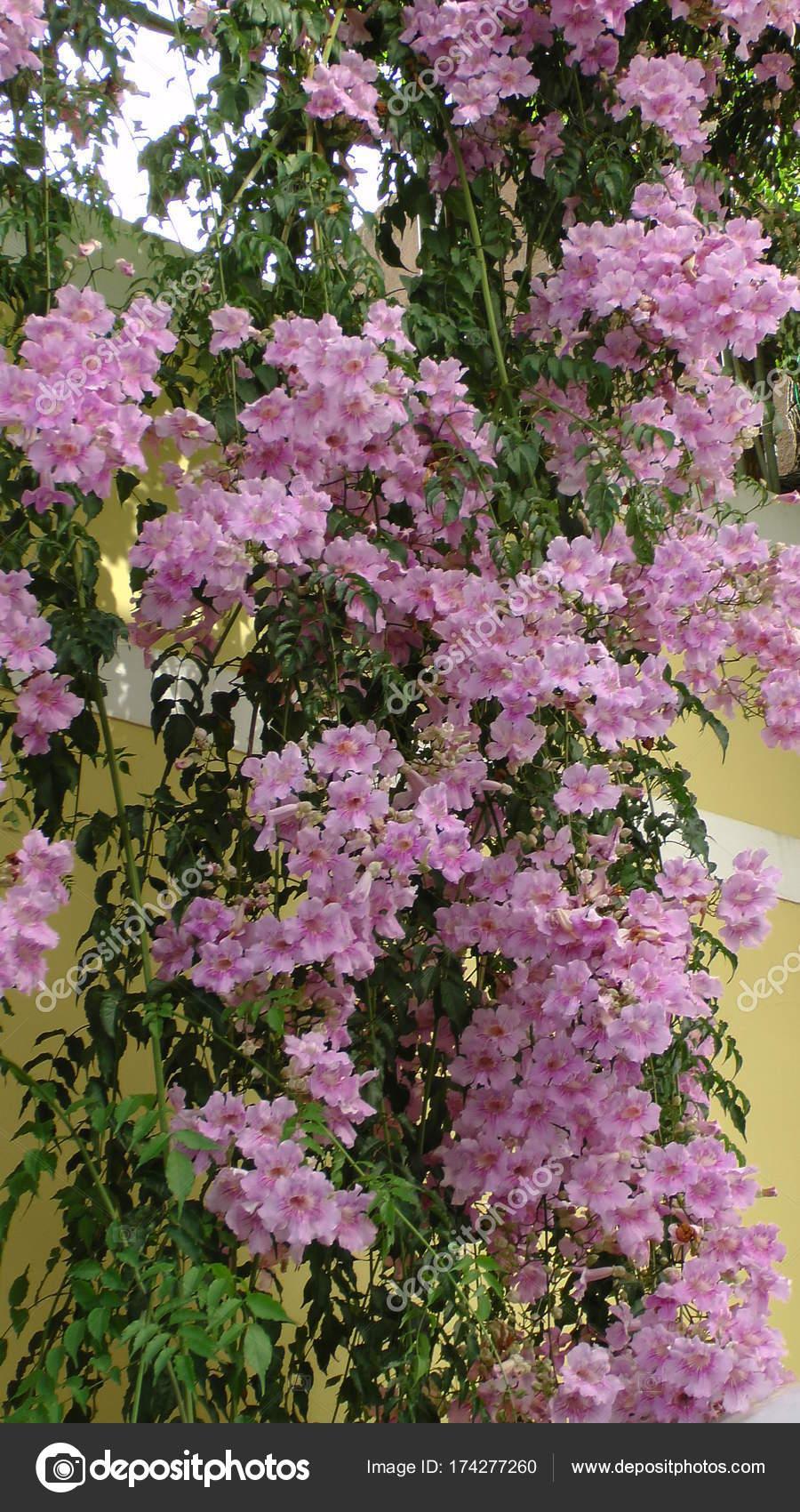 Trompet çiçek Güzel çiçekler Ile Stok Foto Schwerin 174277260