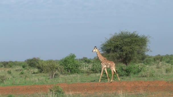 Zsiráfok-savannah szafari Kenyában