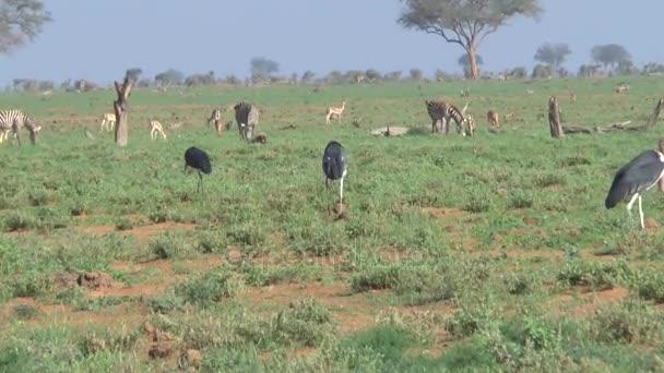 Zvířata v savannah safari v Keni
