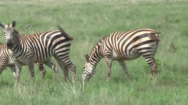 zebra in savannah safari in Kenya