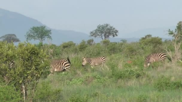 Zebra savannah szafari Kenyában