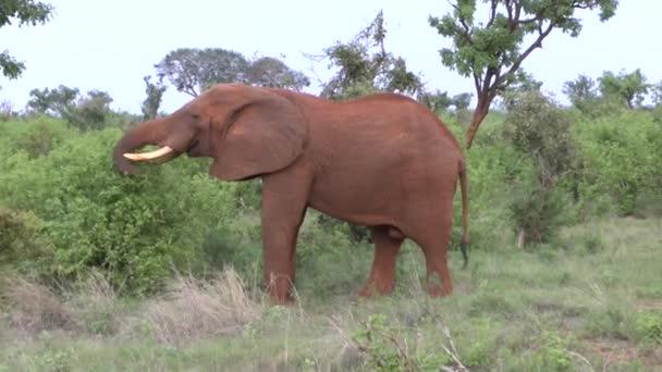 Sloni v savannah safari v Keni