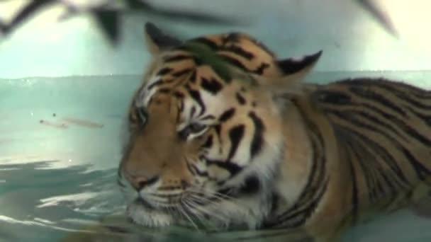 tygr ve vodě