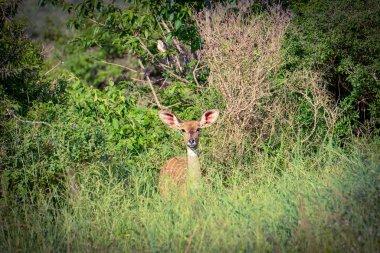 """Картина, постер, плакат, фотообои """"антилопы в национальном парке цаво восток, цаво запад и амбосели в кении художники"""", артикул 332383686"""