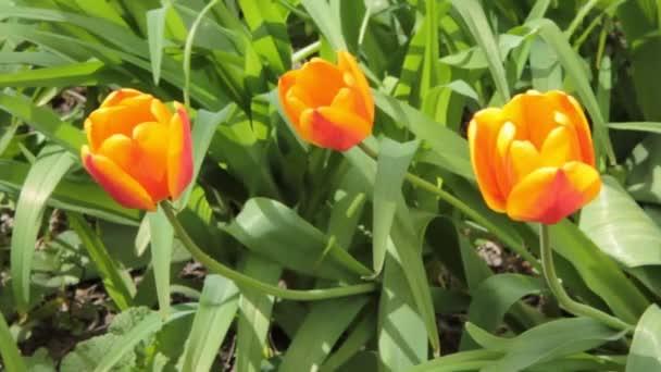 Tulip květiny kvetoucí na jaře. Barevné tulipány květy ve větru. Mírný vítr, pohybující se po poli s mnoha tulipány, slunečný den. HD video v horizontální pohyb
