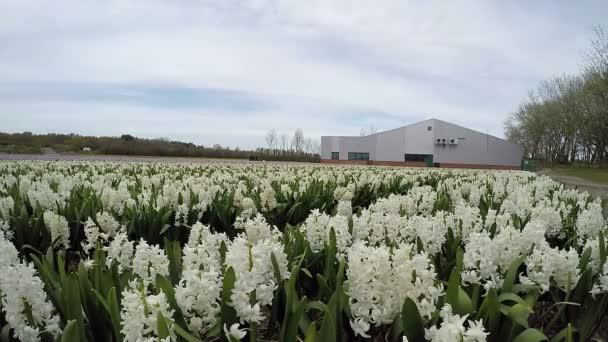 Spring Hyacinth Flower Fields in Netherlands