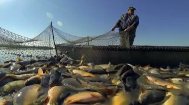 Commercial Fishing - Harvesting Fish at Fish Farm. Fisherman Pulling Fishing Net.  Freshwater Fish Farming