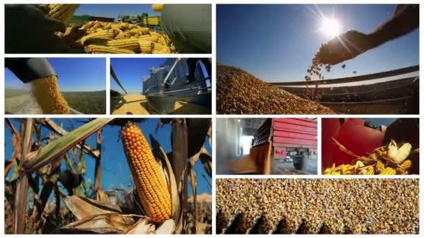 Sestřih ze sklizně kukuřice. Pěstování kukuřice a sklizeň multi-screen. Zemědělství - potravinářství, sklizeň kukuřice, produkci etanolu z kukuřice. Sestřih ukazující sklizeň kukuřice na zemědělské půdě.