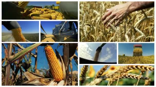 Maize and Wheat Harvest. Wheat production. Corn Harvest on Farmland. Montage of corn harvesting. Maize Harvest. Food Production.