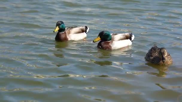 Three Wild Ducks Floating on Peaceful Water in Slow Motion. Mallard Duck - Anas Platyrhynchos. Ducks Swim in a Lake on a Sunny Day.
