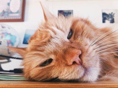 Red cat muzzle