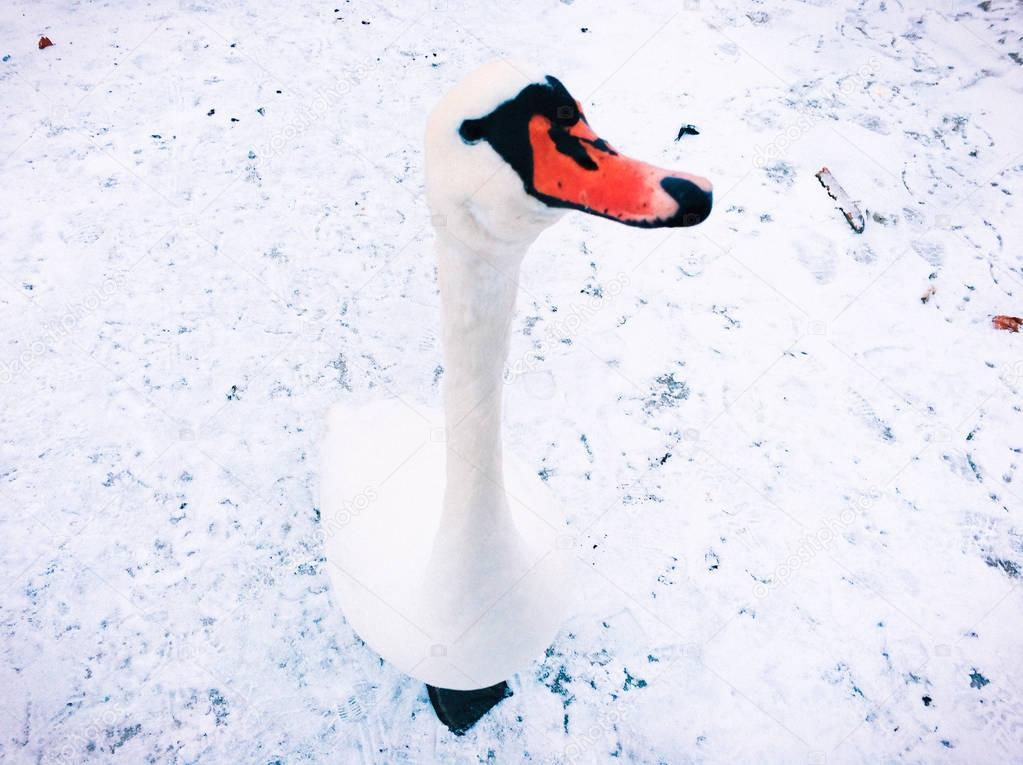 white swan looking at camera