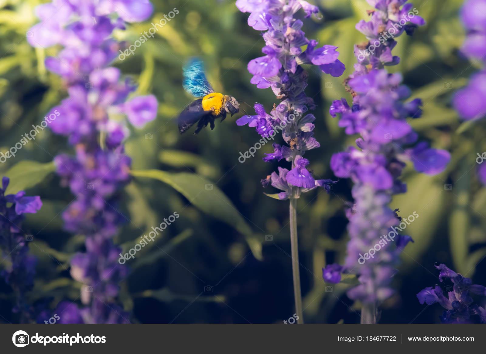 Carpenter bee flying beautiful flowers nature stock photo carpenter bee are flying to beautiful flowers in nature photo by panomja7gmail izmirmasajfo