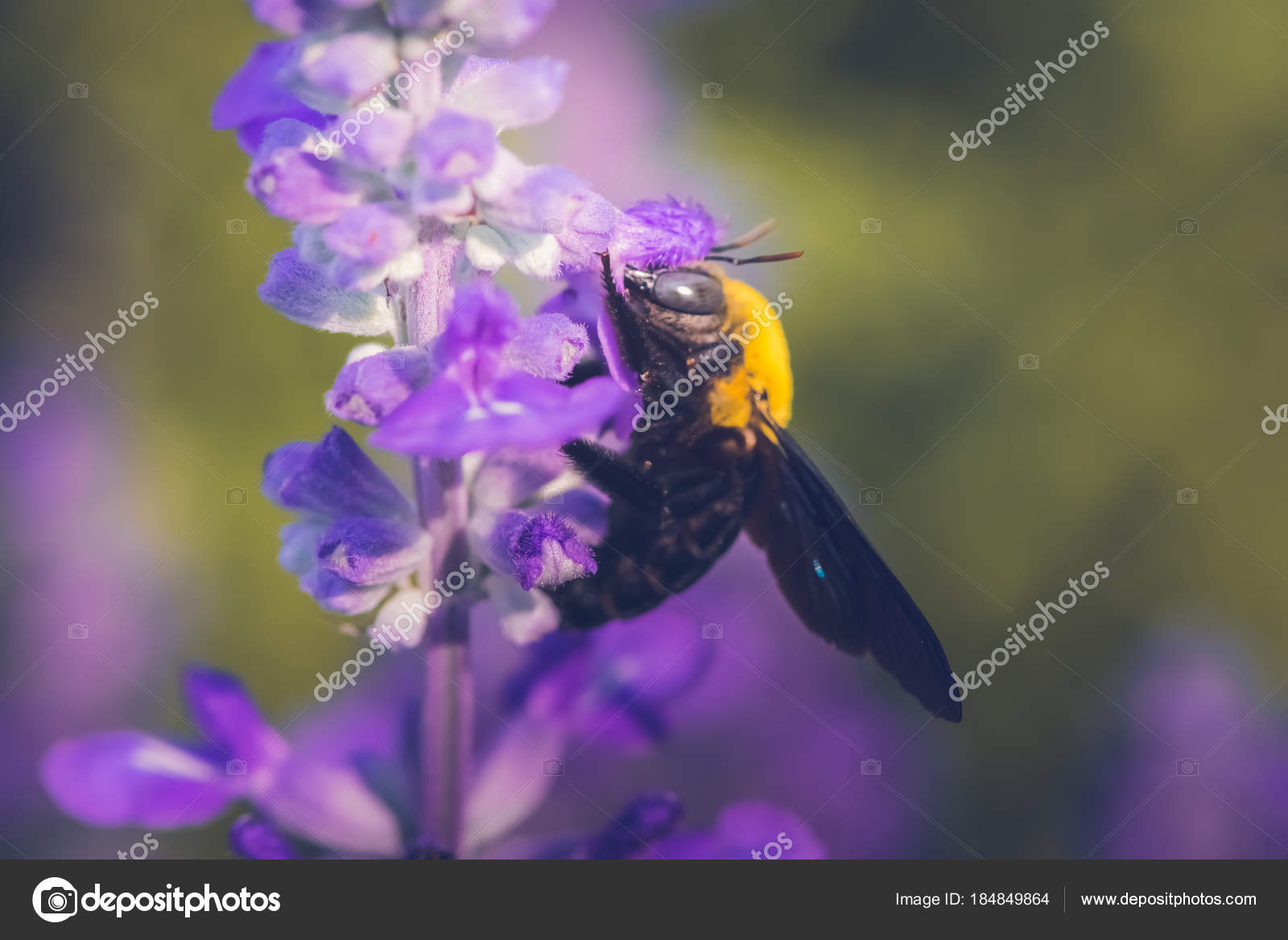 Carpenter bee perched on the beautiful flowers in nature stock carpenter bee perched on the beautiful flowers in nature stock photo izmirmasajfo