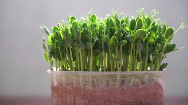 Frisches Bio-Mikrogemüse in einer Plastikbox - junge Erbsensprossen für gesunde Ernährung und Lebensstil. Rohkost und Superfood voller Vitamine und Mineralstoffe. Nahaufnahme von frischen grünen Blättern