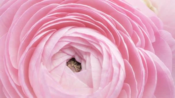 Zblízka pohled na krásné růžové máslové (ranunculus) otevření květinové hlavy. Kvetoucí máslový květinový pozadí. Svatební pozadí, Valentýnský koncept. Záběry časového prodlevy 4K