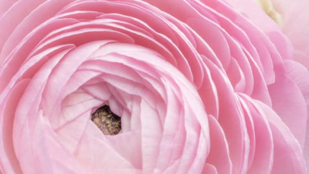 Close up view of beautiful pink buttercup (ranunculus) flower head opening. Blooming buttercup flower background. Wedding backdrop, Valentines Day concept. 4K time lapse footage, zoom effect